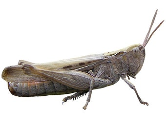 Grasshopper Design 6 Decal