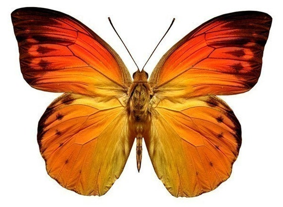 Bright Orange Butterfly Vinyl Decal