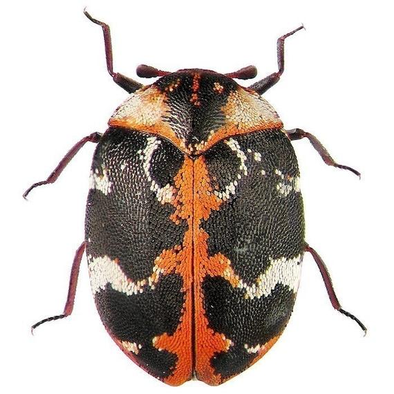 Black and Orange Beetle Vinyl Decal