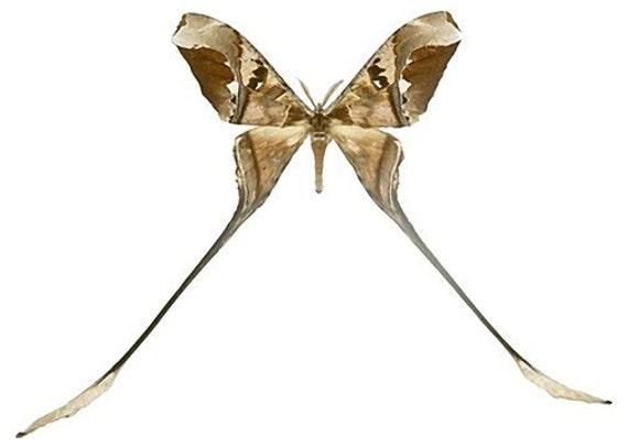 Brown Swallowtail Moth Decal