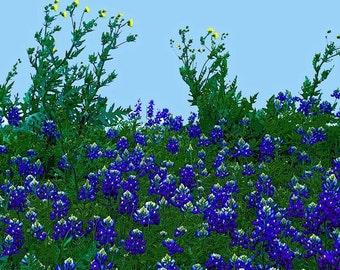 Texans blue wildflowers bluebonnets   Green dandelions eggshell blue sky  digital print  IN SEARCH of DANDELIONS