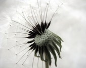 Home Decor Wall Art Dandelion Flowers Inspiration Fine Art Photograph Hanging On Signed Limited Edition 8x10