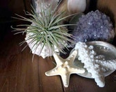 Large  Air Plant Tillandsia Starfish Terrarium