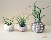mixed trio // air plant urchins //  by robincharlotte
