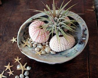 diy garden // air plant tillandsia //  ocean garden