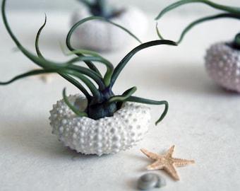 miniature medusa //  air plant garden // by robincharlotte