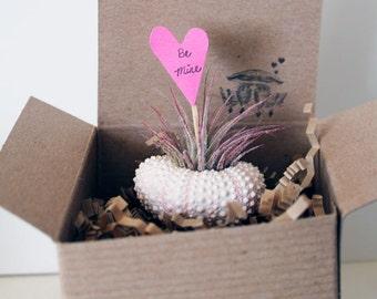 valentine // gift wrap // air plant