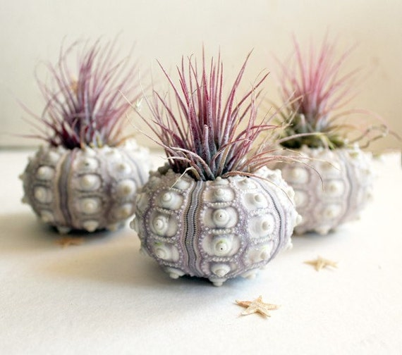 Set of 3 pineapple air plant sea urchin gardens
