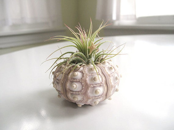 air plant // sea urchin //  tillandsia // by robincharlotte