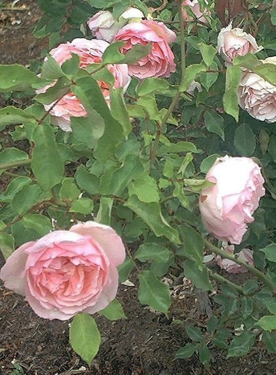 Rose Bouquet Fragrance Oil   2 oz for candle and soap making