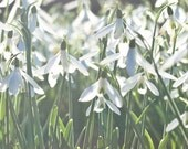 Spring Snowdrops 8 x 10 Photographic Art Print