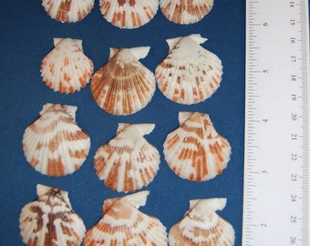 """Craft Seashells, Set of 12 Very Colorful Pectin Shells, 1"""" to 1-3/4"""", Design your own Shell Crafts, Wedding Party Favors and Decorations"""
