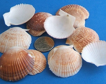 """Craft Shells, Set of 25 Orange, Brown and White Cup Seashells, 1-1/2"""" to 2"""", Make your own Seashell Wind Chime, Decorate a Mirror or Frame"""