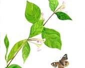 Botanical Butterfly Jacobs Ladder Flower Nature Digital Print