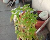 Homegrown Organic Dried Sweet Basil Leaves