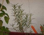 Homegrown Dried Organic Rosemary