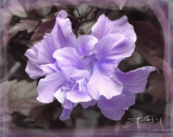 Purple Hibiscus Bloom, Digitally Enhanced Photo Print