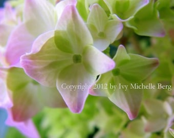 Young Pink Hydrangeas, Photo Art Print