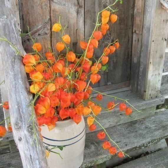 CHINESE LANTERNS   fresh cut bunches for FALL decoration  Shipping Included