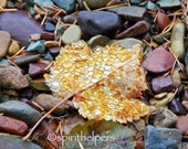 Golden Gems, Raindrops adorn an Autumn Leaf, Montana Lake Stones, Rare Treasure, Photograph or Greeting card