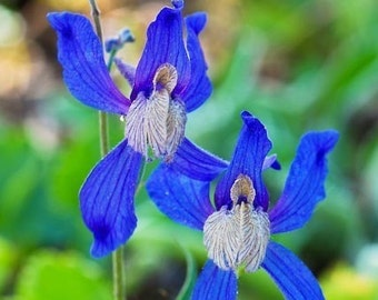 Dancing Delphinium, Blue Larkspur, Blue wildflowers, Montana wild flowers, Photograph or Greeting card