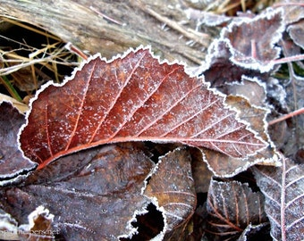 Autumn Leaves, Frosty Leaves, Burgandy and Brown Leaves, Photograph or Greeting card