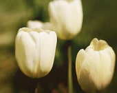 Fine Art Photography Flowers White Tulips 8x8 Modern Wall Decor