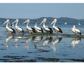 Row of Gentlemen - Photograph, Card or Bookmark of a row of black and white Australian pelicans reflected on a blue lake surface.