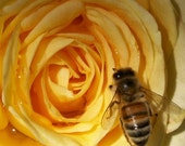 A Suffusion of Yellow - 5 x 5 inch yellow rose bee photograph -(SALE)-