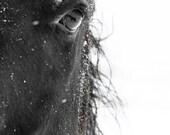 Horse Photograph - black and white horse photography - 8x10 black horse photo, winter horse - eye relflection, nature