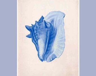 Seashell  Print,  Vintage Conch  sea shell print,  Marine Wall Decor, Nautical art,  Coastal Living