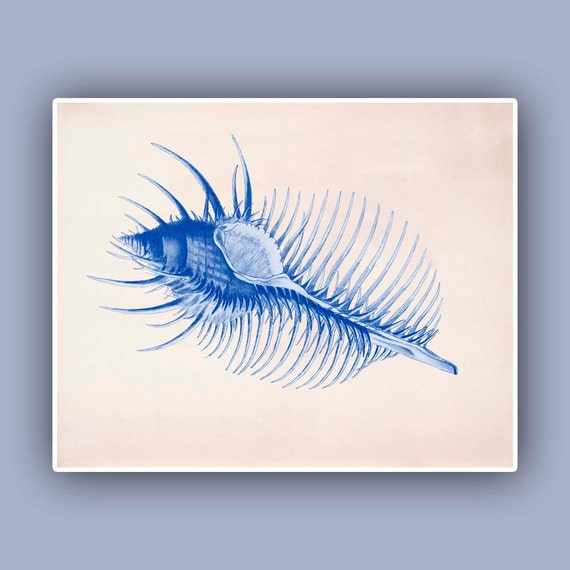 Seashell  Print,  Vintage Venus Comb sea shell print,Blue print, Marine Wall Decor, Nautical art, seashore art   Print, Botanical Art