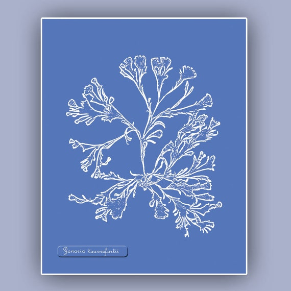 Ocean  Seaweed Print, Algae  print, Kelp, Botanical Art, Pressed seaweed Art, Nautical  Print, Cyanotype impressions
