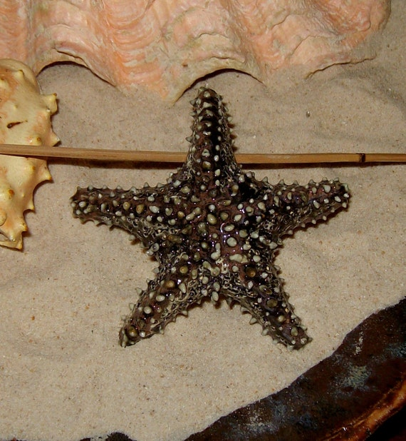 extra large life size black starfish bead ceramic focal bead in natures black - by Earth N Elements Pottery