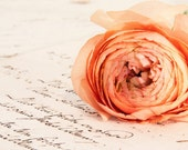 """8x12"""" Peach Ranunculas Against Handwritten French Papers 1777 - spring decor fine art photography photo image shabby chic"""