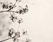 Black and White Fine Art Photograph, Nature Art, Dogwood Flowers, Botanical Print, Flower Photo, Sepia Tone, Spring, Square 8x8 Print