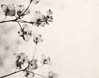 Fine Art Photograph, Nature Art, Dogwood Flowers, Botanical Print, Black and White Photo, Flower Photo, Spring, Dogwood Print, Square Art