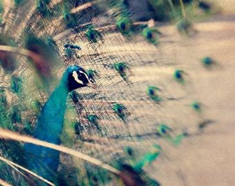 Fine Art Photograph, Peacock Photo, Abstract Print, Feathers, Dreamy Art, Sapphire Blue, Sage Green, Bird Lover, Peacock Decor, Zoo Art