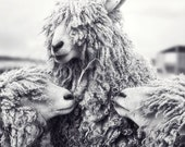 Sheep with Backup Singers - fine art black and white photography print