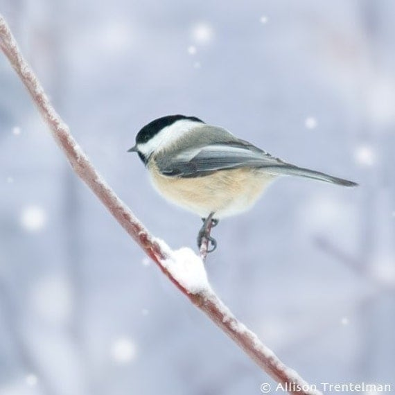 Chickadee in Snow No. 4, 7x7 Bird Print - Free Shipping