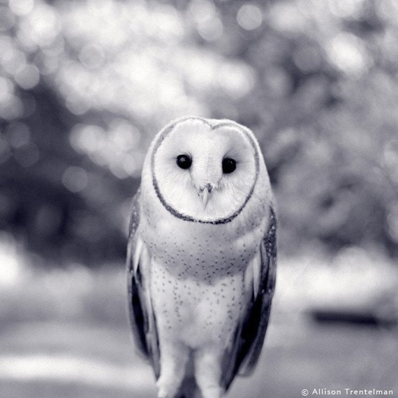 Newton The Barn Owl 7x7 Black And White Print Free Shipping