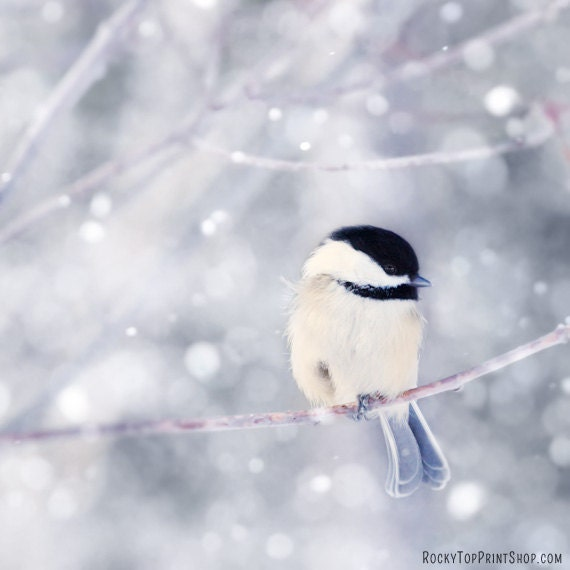 SALE - Bird Art Print - Chickadee Photograph - Winter Bird Print - Cute Animal Photography - Fine Art Photography Print in Periwinkle Blue