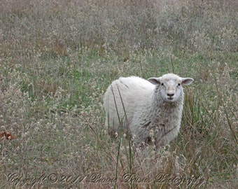 Animal photography, Sheep photo, Farm photography, Country, Rustic,  Lamb, Meadow, Wooly, Green and beige, 8x10, 11x14, 16x20