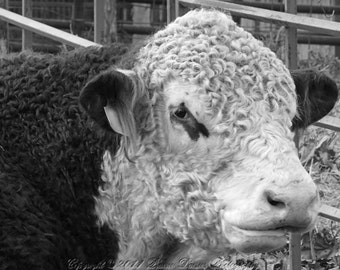 Farm animal photography, Bull, Hereford, Farm photography, Farm wall art, Ranch, Farm, Rustic, Black and white photo, 8x10, 11x14, 16x20