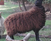 RESERVED - Fleece 7 lbs 8 oz BL adult ram (Juggernaut) finely skirted black wool fleece (Border Leicester)