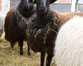 RESERVED - Fleece 3 lbs 6.5 oz GF ewe lamb (Kerala) - finely skirted black wool fleece (Greyface)