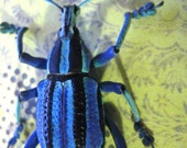 Blue Weevil Insect Art Display