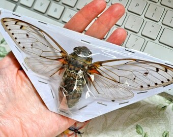 OVERSTOCK: Largest Cicada in the World