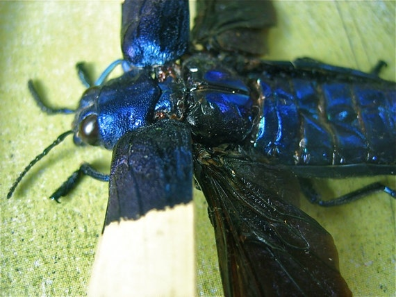 Royal Blue Jewel Beetle Wall Art
