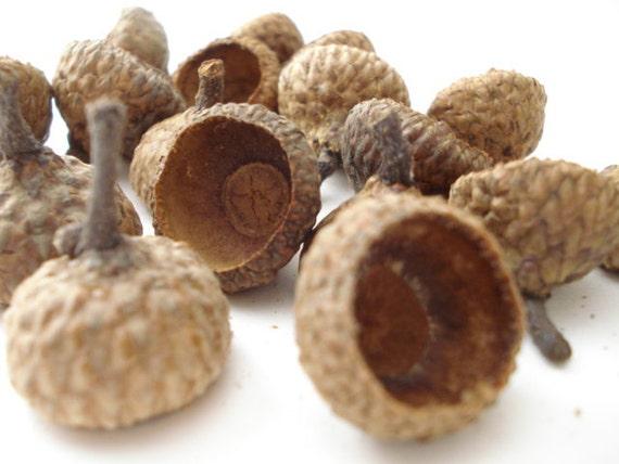 1 ounce of Medium Black Oak Acorn Caps with Stem